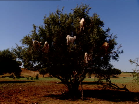 Goats grazing in tree Morocco