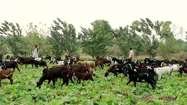goats herd grazing in the vegetables fields and shephers taking care of them. - punjab pakistan stock videos & royalty-free footage