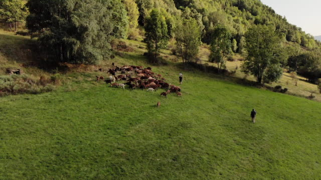 Goats herded in Spain countryside, aerial