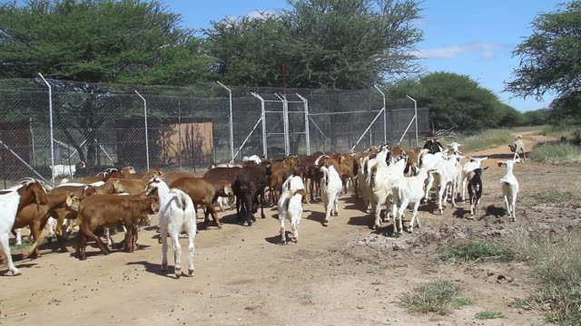 ms ts goats herding together and exiting fenced in area / d2440, otjiwarongo, namibia - wiese stock videos & royalty-free footage
