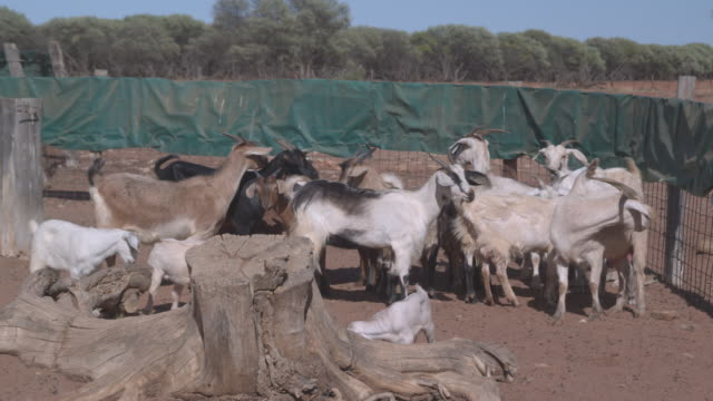 MS Goats in at australian outback farm / Western Australia, Australia