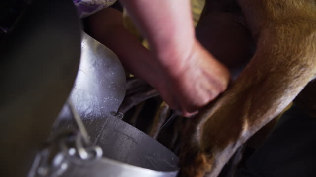 goats in the barn - milking - dairy product stock videos & royalty-free footage