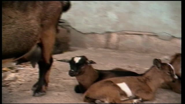goats laying on sidewalk in rural jamaica - hooved animal stock videos and b-roll footage