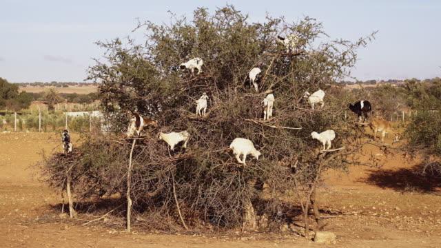 vídeos de stock e filmes b-roll de goats on argan tree. moroccan countryside - animals in the wild
