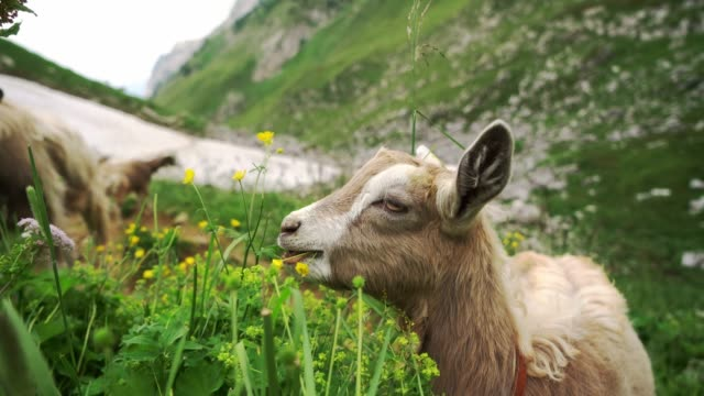 goats  on pasture in swiss alps - flock of sheep stock videos & royalty-free footage