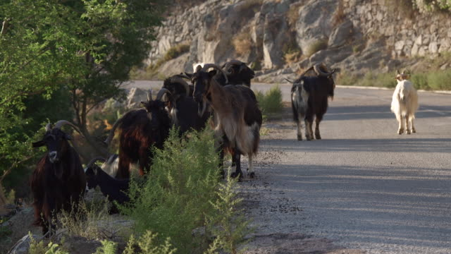 goats on the road in corsica. - mittelgroße tiergruppe stock-videos und b-roll-filmmaterial