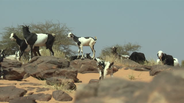 ms zo goats over desert / atar, adrar, mauritania - religiöse darstellung stock-videos und b-roll-filmmaterial