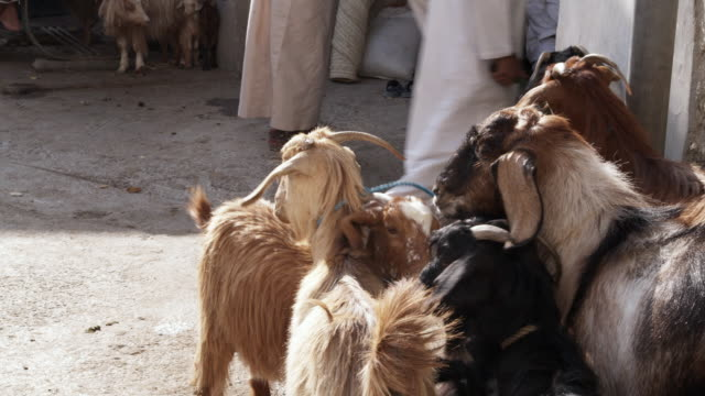 ms goats tied up waiting to be auctioned, bahla, oman - souk stock videos & royalty-free footage
