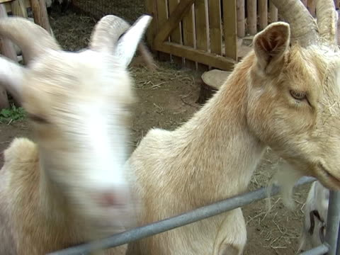 goats - pen pal stock videos & royalty-free footage