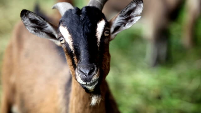 goats - goat stock videos and b-roll footage