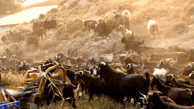 goats - turkey middle east stock videos & royalty-free footage