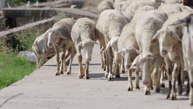 Goats walking in manade