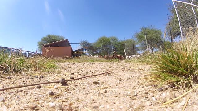 stockvideo's en b-roll-footage met ms goats walking out of pen / d2440, otjiwarongo, namibia - wiese