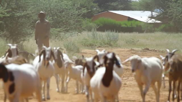 ms goats walking through dirt road / d2440, otjiwarongo, namibia - wiese video stock e b–roll