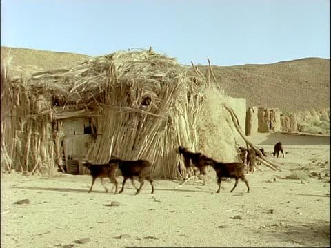 MWA Goats wandering through desert village, Algeria, Africa