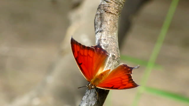 goatweed leafwing butterfly - invertebrate stock videos & royalty-free footage