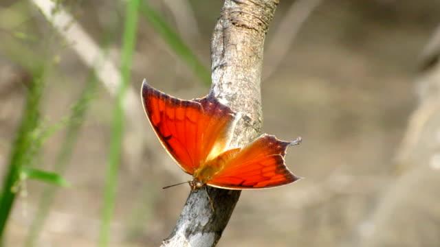 vidéos et rushes de goatweed leafwing papillon - des papillons dans le ventre