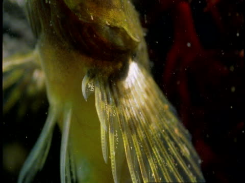 a goby breathes underwater. - gill stock videos & royalty-free footage
