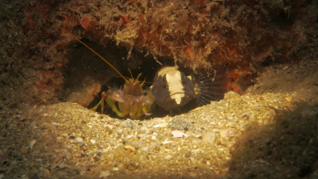 goby fish and pistol shrimp - pistol stock videos & royalty-free footage