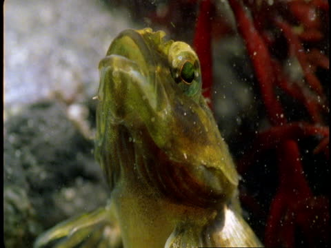 A goby opens and closes its mouth as it breathes underwater.