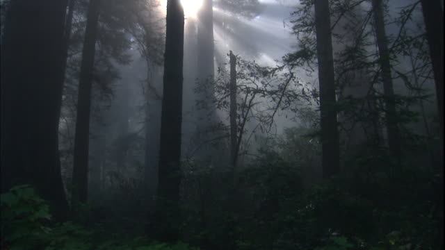 vídeos y material grabado en eventos de stock de god rays shine through redwood trees in a misty forest. - parque estatal