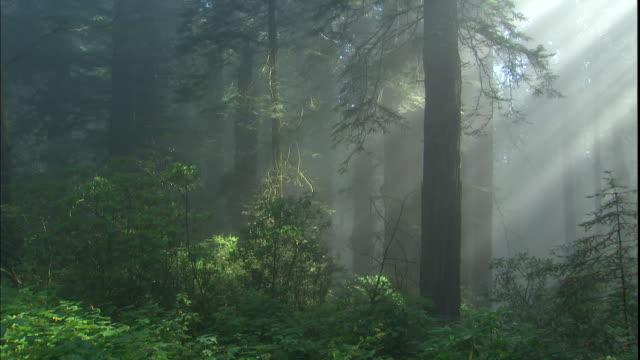 god rays shine through redwood trees in a misty forest. - redwood forest stock videos and b-roll footage
