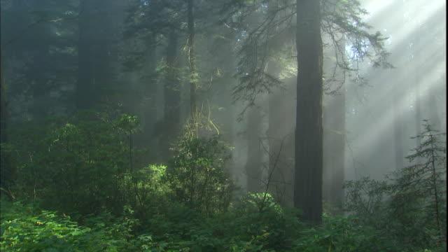 vídeos de stock, filmes e b-roll de god rays shine through redwood trees in a misty forest. - parque nacional de redwood