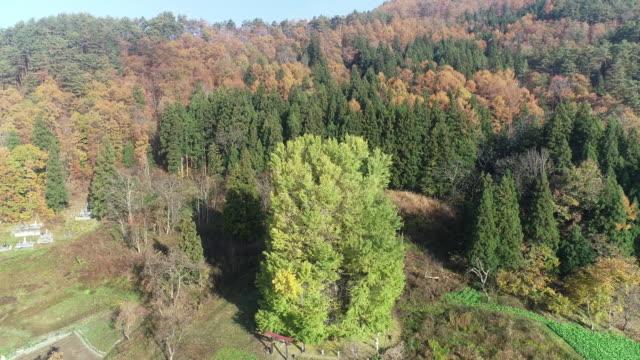 Godo's large ginkgo tree in Nagano, Japan