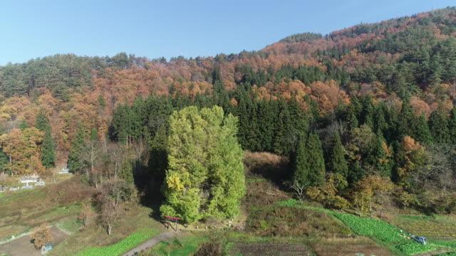 godo's large ginkgo tree in nagano, japan - ginkgo stock videos & royalty-free footage
