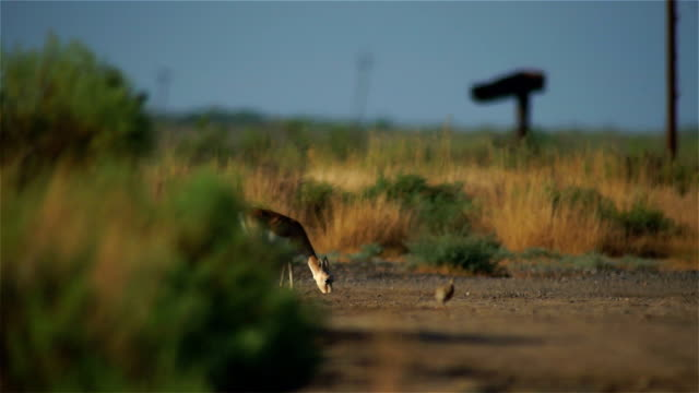 goitered gazelle and chicks of black francolin - spanking stock videos and b-roll footage