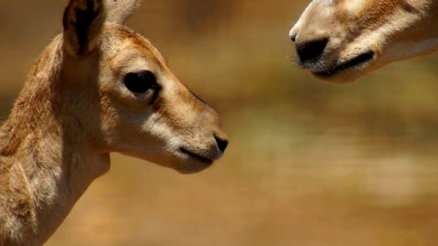 Goitered Gazelle (Mother and baby)