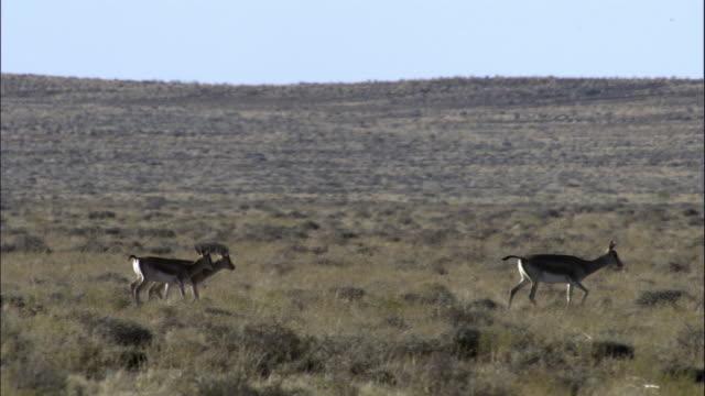 Goitered gazelles walk across grassland, Kalamaili Nature Reserve, Xinjiang, China