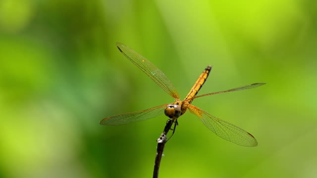 gold dragonfly - dragonfly stock videos & royalty-free footage