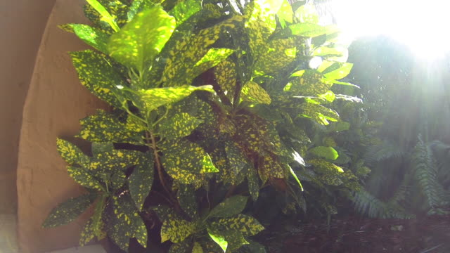 gold dust croton houseplant - houseplant stock videos and b-roll footage