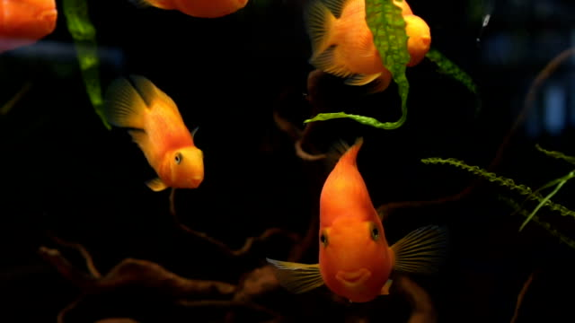 gold fish in aquarium- relaxing moments - petshop stock videos and b-roll footage