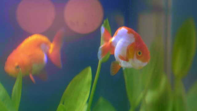 gold fish surprise - goldfish stock videos & royalty-free footage