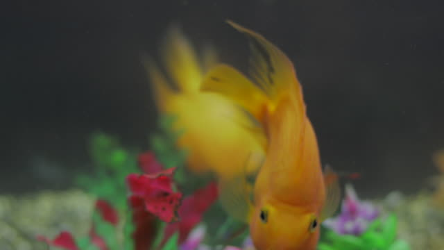 gold fish - pampered pets stock videos and b-roll footage