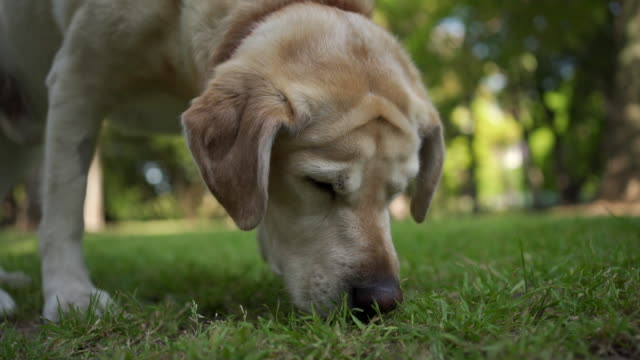 gold furred labrador walking around park grass - smelling stock videos & royalty-free footage