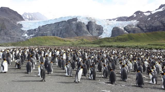 vídeos y material grabado en eventos de stock de gold harbour king penguins - pingüino cara blanca