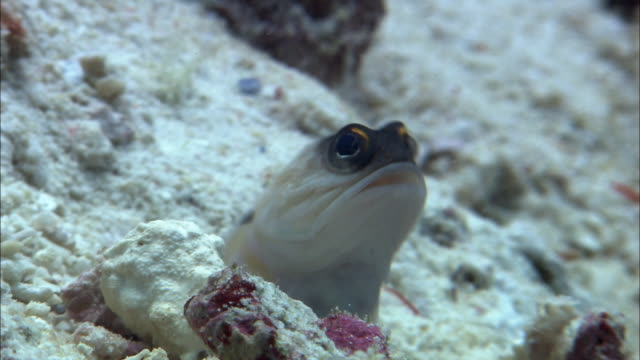 Gold specs jawfish (Opistognathus sp.) in burrow on reef, West Papua, Indonesia