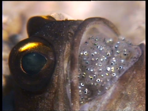 Gold Specs Jawfish with eggs in mouth, CU head in hole, Mabul, Borneo, Malaysia