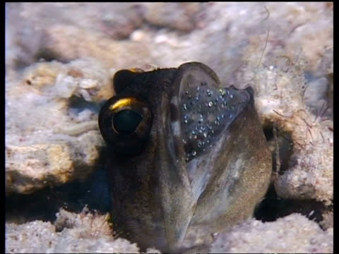 gold specs jawfish with eggs in mouth, cu head in hole, mabul, borneo, malaysia - saltwater fish stock videos & royalty-free footage