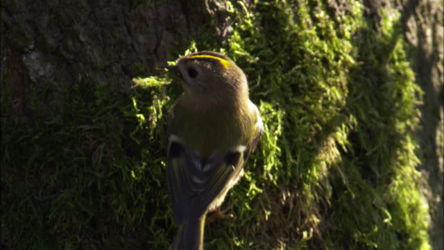 Goldcrest (Regulus regulus) gathers moss from tree trunk, Scotland, UK
