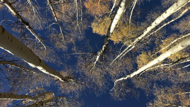 golden autumn aspen trees in 4K