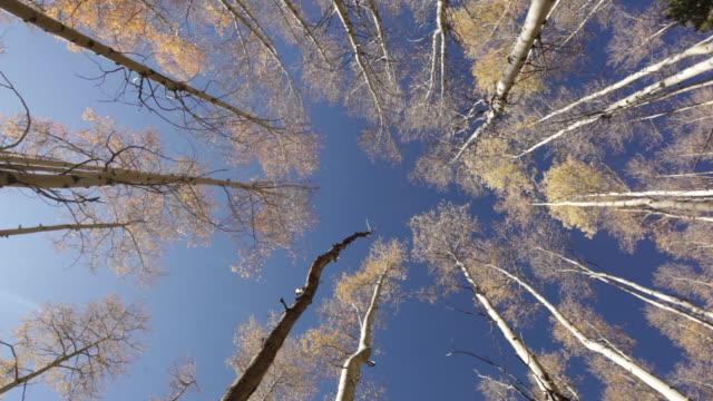 vídeos de stock, filmes e b-roll de árvores de álamo tremedor outono douradas - árvore de folha caduca