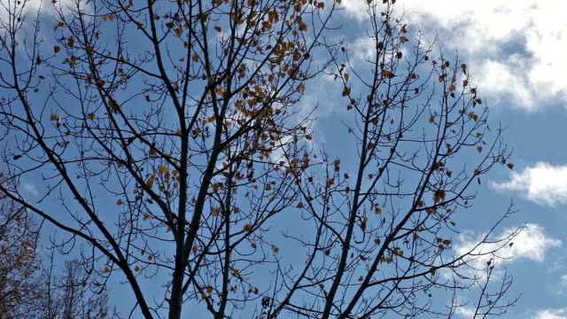Golden autumn cottonwood leaves blowing in wind against blue sky.