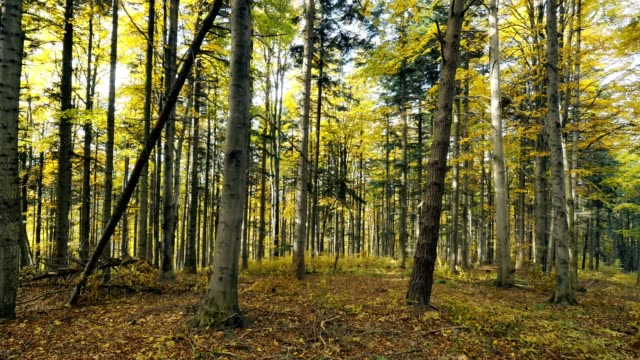 golden autumn in the beech forest - beech tree stock videos and b-roll footage