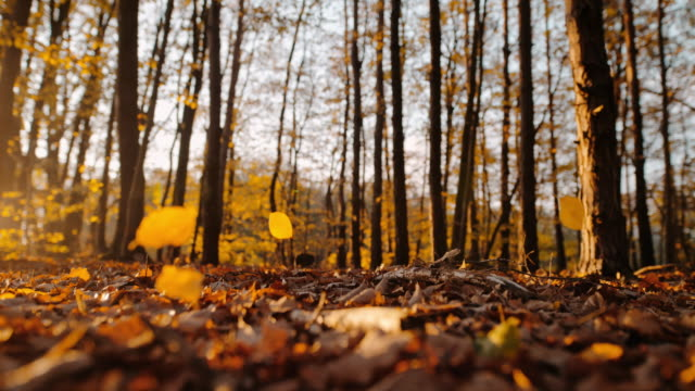 ms super slow motion time warp effect golden autumn leaves falling in sunny tranquil forest - autumn stock videos & royalty-free footage