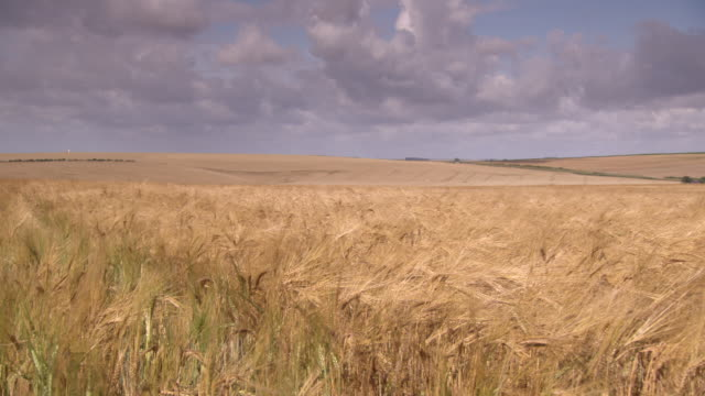 stockvideo's en b-roll-footage met golden awned wheat sways in a breeze as vehicles drive over rolling hills beyond, northern france. - cereal plant
