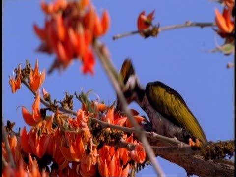 cu golden backed woodpecker, dinopium benghalense, feeding in tree, bandhavgarh national park, india - national icon stock videos & royalty-free footage